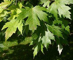Folioj de arĝenta acero (Acer saccharinum)