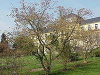 Acer japonicum0