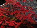 Acer japonicum - Daikakuji,Kyoto 大覚寺のハウチワカエデ DSCF0904.JPG