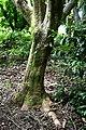 Acer japonicum in Auckland Botanic Gardens 02.jpg
