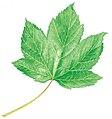Acer pseudoplatanus leaf illustration.jpg