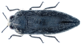 Acmaeodera cylindrica (Fabricius, 1775).png