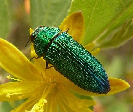 Acmaeodera viridaenea