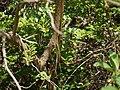 Acnistus arborescens (17276864711).jpg