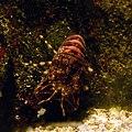 Acquario di Genova 27072015 04 Scyllarus arctus.jpg