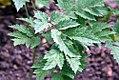 Actaea racemosa 5zz.jpg