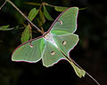 Actias luna in Florida.jpg
