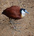 Actophilornis africanus -London Zoo, England-8a.jpg