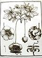 Adanson, gravure du baobab (Adansonia digitata) 01.jpg