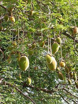 Owoce baobabu