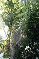 Adansonia digitata 2zz.jpg