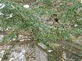 Adelges tsugae infestation 0498.jpg