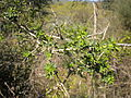 Adenocarpus complicatus 2601.JPG