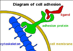 Induced stem cells - Role of cell adhesions in neural development. Image courtesy of Wikipedia user JWSchmidt under the GNU Free Documentation License