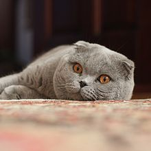 Scottish Fold Wikipedia