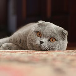 Adult Scottish Fold.jpg