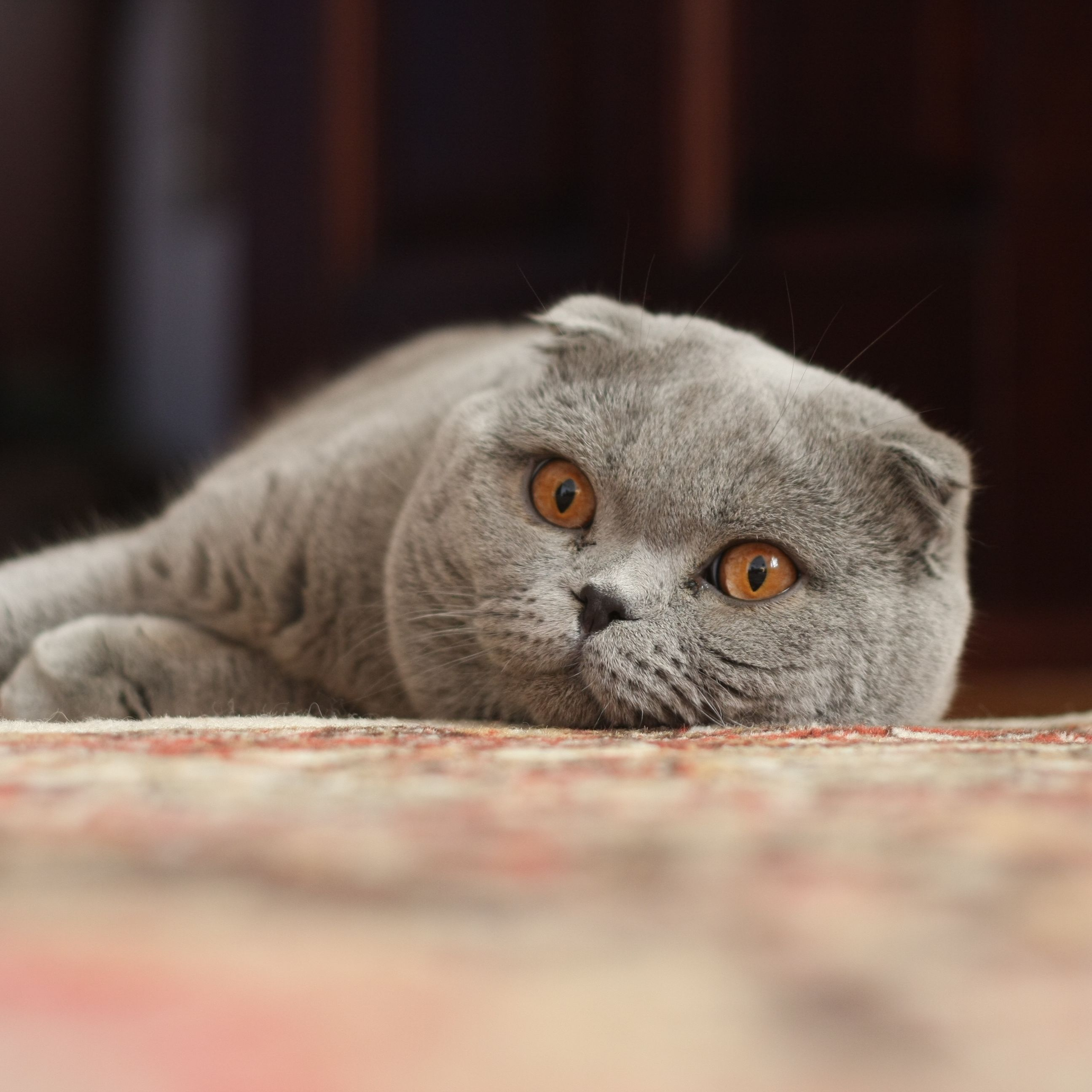 Scottish Fold - The complete information and online sale with free