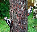 Adult female and young male great spotted woodpeckers (2607573626).jpg