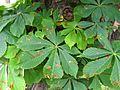 Aesculus hippocastanum015.jpg