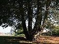 Aesculus hippocastanum JPG1a.jpg