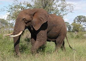 Tumbuka people - Image: African Elephant