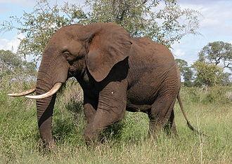 Proboscidea - African bush elephant, Loxodonta africana