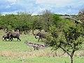 African Elephant (3076125162).jpg