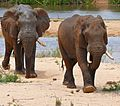 African Elephants (Loxodonta africana) bull in Sabie riverbed ... (33221712942).jpg