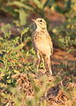African Pipit, Anthus cinnamomeus, at Mapungubwe National Park, Limpopo, South Africa (18127364000).jpg