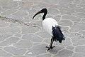 African Sacred Ibis (25641890836).jpg