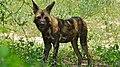 African Wild Dog (Lycaon pictus) (6017661441).jpg