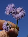 Ageratum houstonianum flower10 (11508993685).jpg