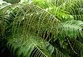 Aglaomorpha meyeniana kz5.jpg