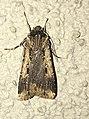 Agrotis volubilis 2539347.jpg