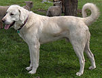 Akbash Dog male 2016.jpg