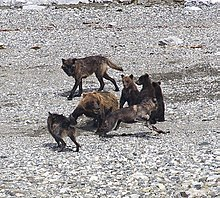 Cougar cucciolo velocità dating