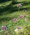 Allium lusitanicum ENBLA02.jpg