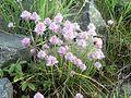 Allium schoenoprasum PM2014.JPG