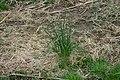 Allium vineale early spring 001.JPG