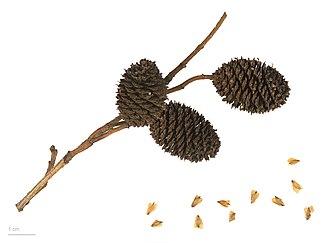 Alnus sieboldiana - Alnus sieboldiana - MHNT
