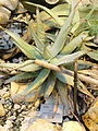 Aloe asperifolia - Palmengarten Frankfurt - DSC01751.JPG