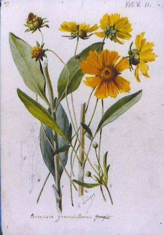 Coreopsis grandiflora - Image: Alois Lunzer 04
