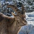 Alpensteinbock Capra ibex-0801.jpg