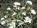 Alpine flowers3.jpg
