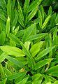 Alpinia nutans kz2.jpg