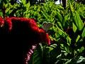 Amaranthus (9).jpg