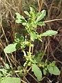 Amaranthus albus kz01.jpg