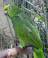 Amazona ochrocephala -zoo-8.jpg