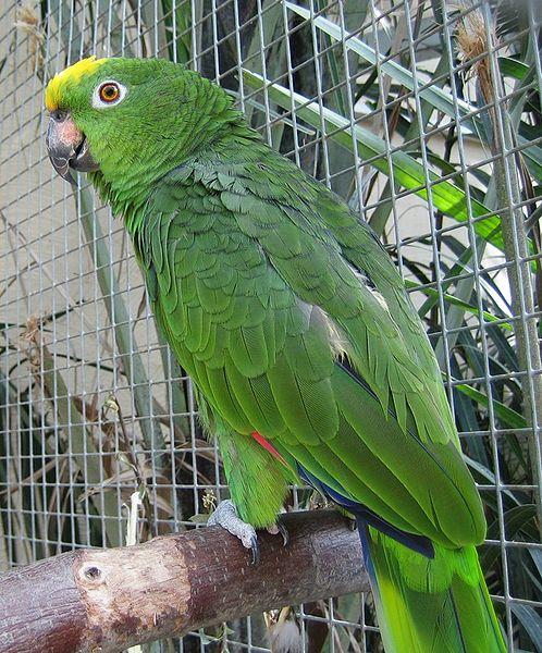 Ficheiro:Amazona ochrocephala -zoo-8.jpg