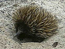 Equidna común (Tachyglossus aculeatus)